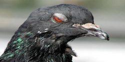 le-pigeon